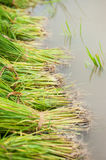 The paddy in the field. The paddy prepared for growing in the field in northern Thailand Stock Photo