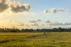 Paddy field at Psir Mas, Kelantan, Malaysia. Farmer and his son walking across a paddy field in the evening at Pasir Mas, Kelantan, Malaysia Royalty Free Stock Photos