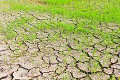 Paddy field rainless. Royalty Free Stock Images