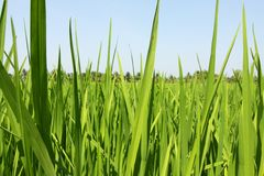 Paddy field, rice Stock Image