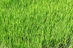 Paddy field, rice Royalty Free Stock Photography