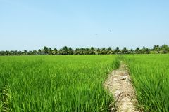 Paddy field, rice Stock Photography