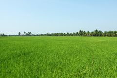 Paddy field, rice Royalty Free Stock Photo