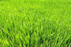 Paddy field, rice Royalty Free Stock Photos