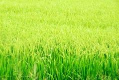 Paddy field, rice Royalty Free Stock Photos