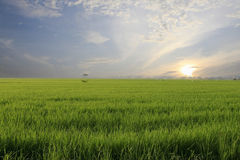 Paddy Field, rice. A morning view of paddy field Stock Photos