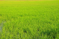 Paddy field. That the rice background royalty free stock photography