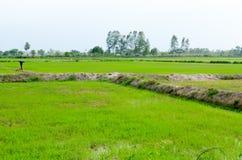 Paddy field. Rice began to growing in paddy field in seasonal farm Stock Photo