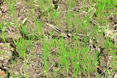 Paddy field or rice field. Paddy field or rice field, as nature background Stock Photo