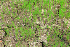 Paddy field or rice field. Paddy field or rice field, as nature background Royalty Free Stock Images