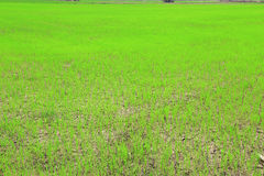 Paddy field or rice field. Paddy field or rice field, as nature background Stock Image