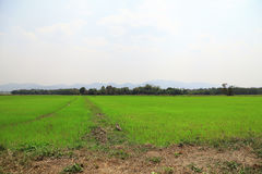 Paddy field or rice field. Paddy field or rice field, as nature background Royalty Free Stock Photo