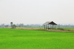 Paddy field or rice field with cottage. Paddy field or rice field with cottage, as nature background Stock Photography