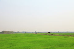 Paddy field or rice field with cottage. Paddy field or rice field with cottage, as nature background or print card Stock Photo