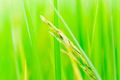 Paddy field,rice field,rice Stock Photos