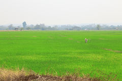 Paddy field or rice field with scarecrow. Paddy field or rice field with scarecrow, as nature background Royalty Free Stock Photos