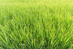 Paddy field of rice stock image