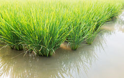 Paddy field of rice royalty free stock photo