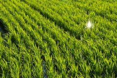Paddy field of rice planting later. This is a photograph of a paddy field of rice planting later Royalty Free Stock Image