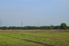 Paddy field. With rice seeding and sky background royalty free stock image
