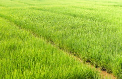 Paddy field of rice royalty free stock photos