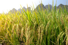Paddy field,rice Royalty Free Stock Photo