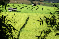 Paddy field and rice terraces in maejam Stock Photos