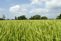 Paddy Field, rice view Royalty Free Stock Images