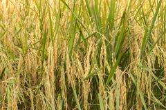 Paddy field. Ripe paddy crop Royalty Free Stock Images