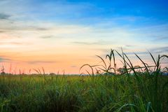 Paddy Field with Ripe Paddy 1 stock image