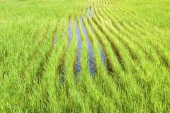 Paddy Field In Rural royalty-vrije stock fotografie
