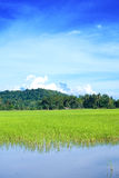 Paddy field of Sabah Stock Images