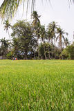 Paddy field. A scenery of paddy field Stock Photography