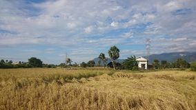Paddy field scenery at Kampot Cambodia 2 Royalty Free Stock Photography
