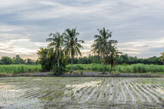 Paddy field the season Royalty Free Stock Images