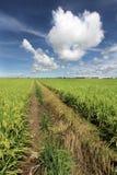 Paddy field in Sekinchan, Malaysia Stock Photography