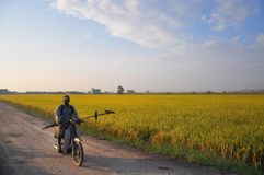 Paddy field in Sekinchan, Malaysia. Farmer riding his motorcycle in a paddy field goong to his work Stock Image