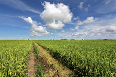 Paddy field in Sekinchan, Malaysia - Series 2 Stock Images