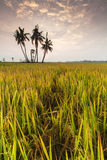 Paddy field of Sekinchan with sunrise. Royalty Free Stock Images