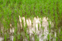 Paddy field. And semiaqutic rice Royalty Free Stock Photo