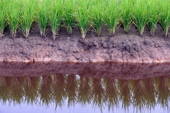 Paddy Field Series 6 Royalty Free Stock Image