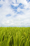 Paddy field, sky and clouds royalty free stock images