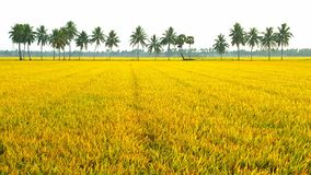 Paddy field. In south india Stock Images