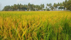 Paddy field. In south india Stock Photo