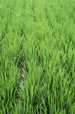 Paddy field in spring Stock Image