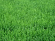 Paddy field. This is the Paddy field of Sri lanka, this time is Paddy is ready to rice Stock Images