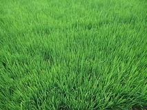 Paddy field. This is the Paddy field of Sri lanka, this time is Paddy is ready to rice Stock Photography