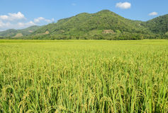 Paddy field in sunny day Stock Photography