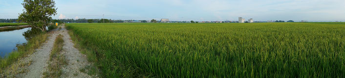 Paddy field with sunrise background. Panorama of paddy field with sunrise background Stock Photos