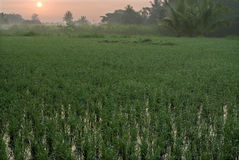 Paddy field and sunrise Stock Image